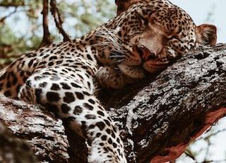 brown leopard sleeping during daytime