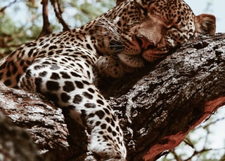 brown leopard sleeping during daytime