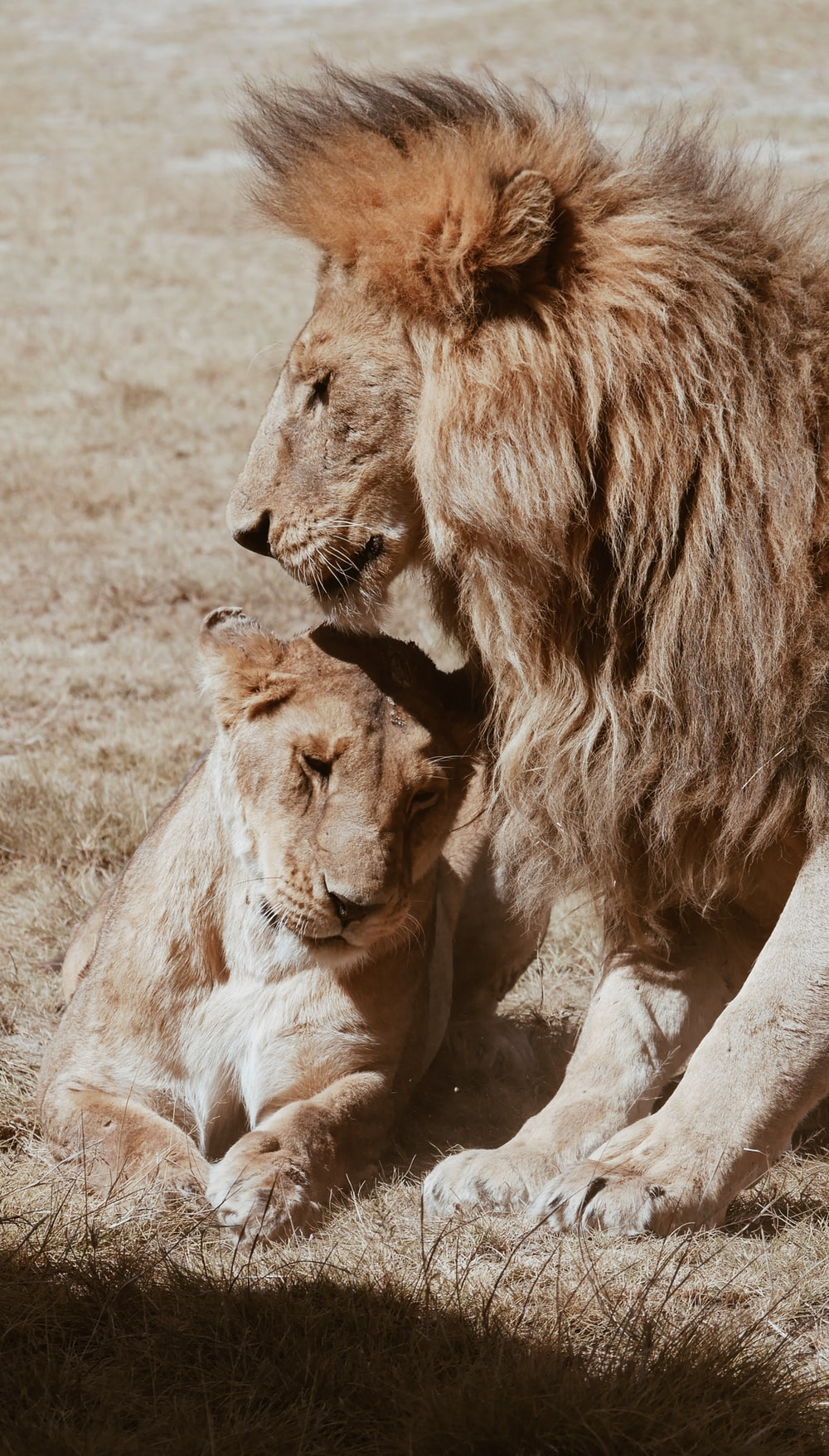 two brown lion on green field