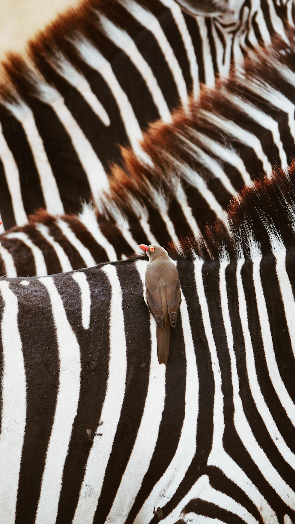 brown bird zebras