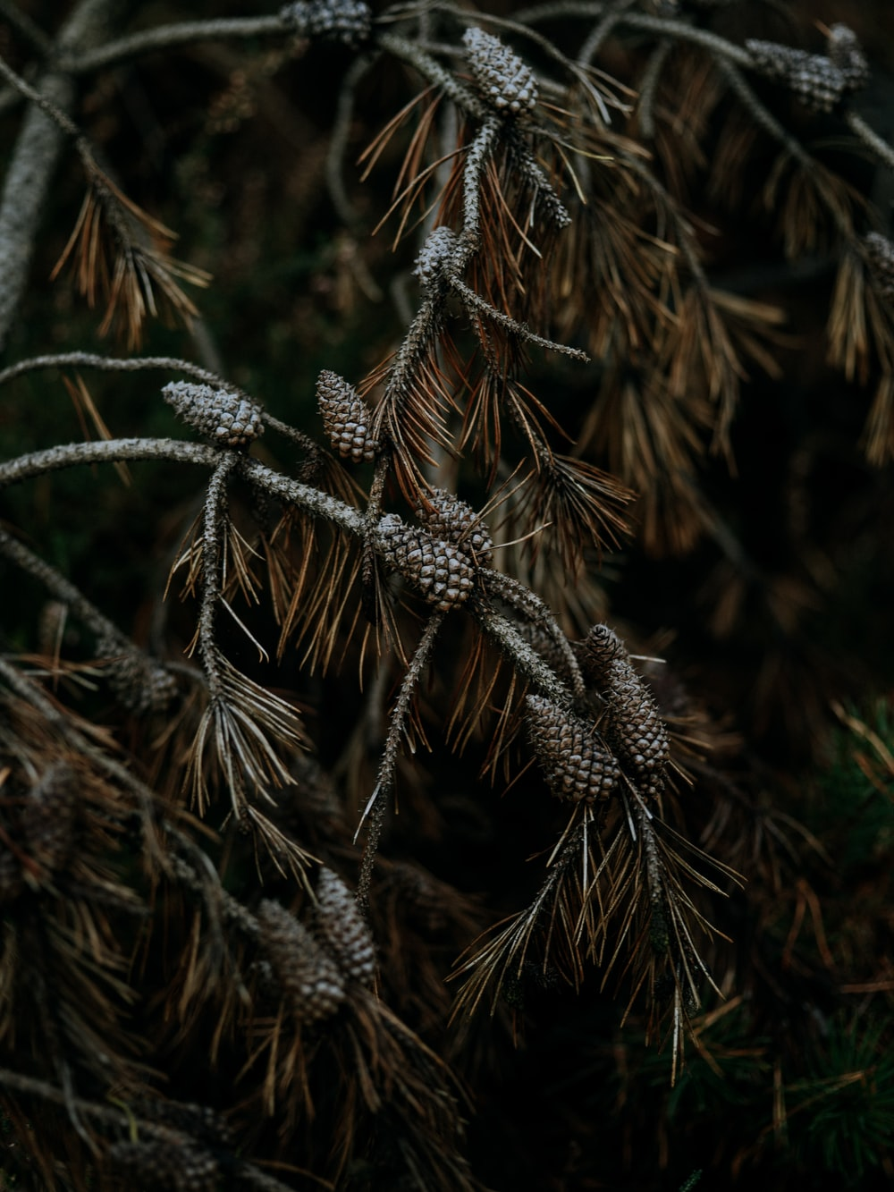 pine cones on tree;