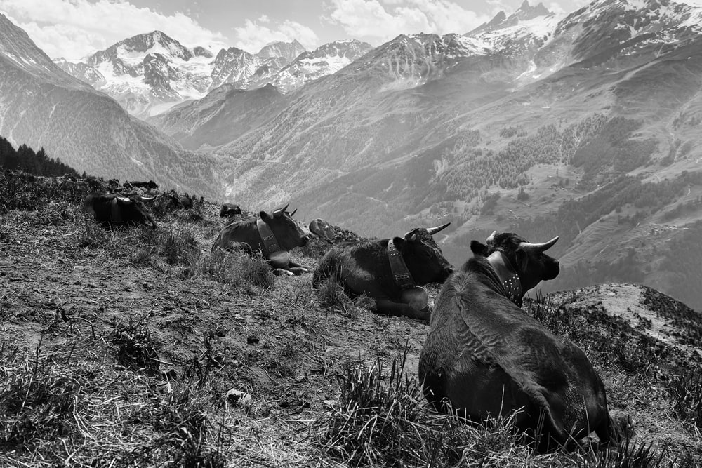 grayscale photo of bulls on hill
