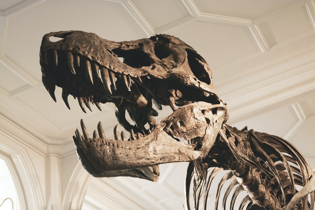 Stan the T-Rex skeleton in Manchester Museum