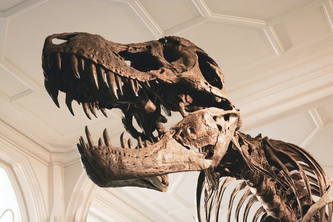 Stan the T-Rex skeleton, Housed at Manchester Museum www.museum.manchester.ac.uk