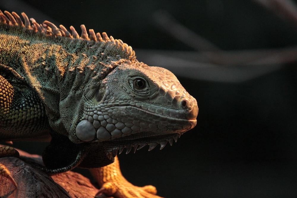 gray iguana facing sideways