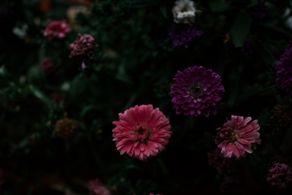 macro photography of pink gerbera daisy flowers