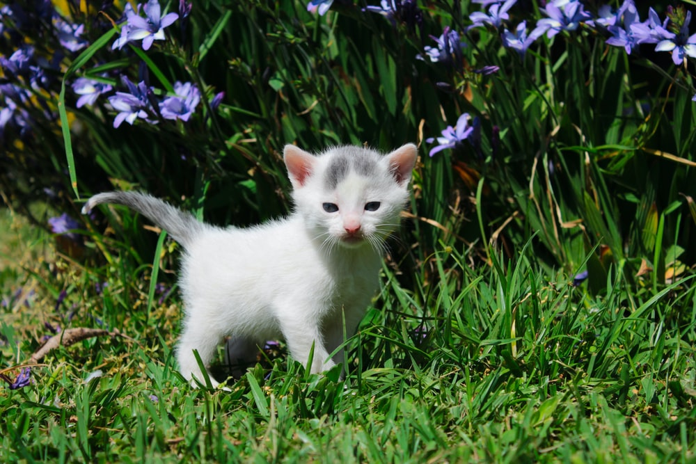 macro photography of short-fur white and gray kitten near purple petaled flowers
