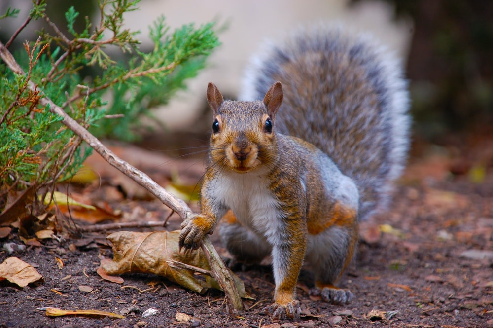 macro photography of brown and gray squirrel