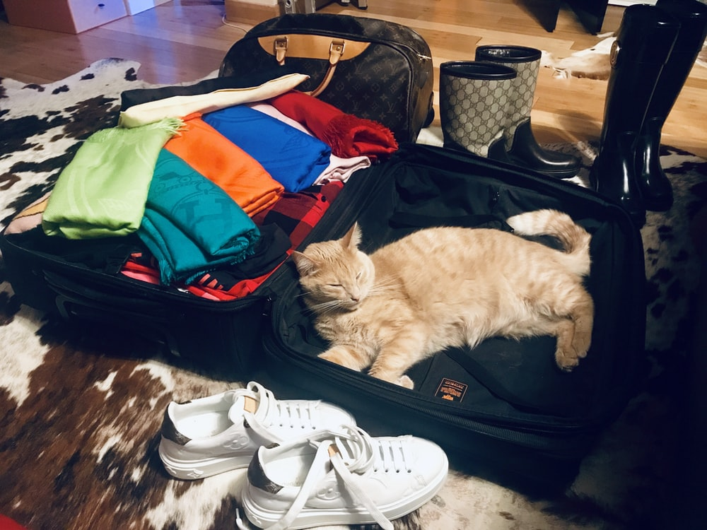 cat inside luggage
