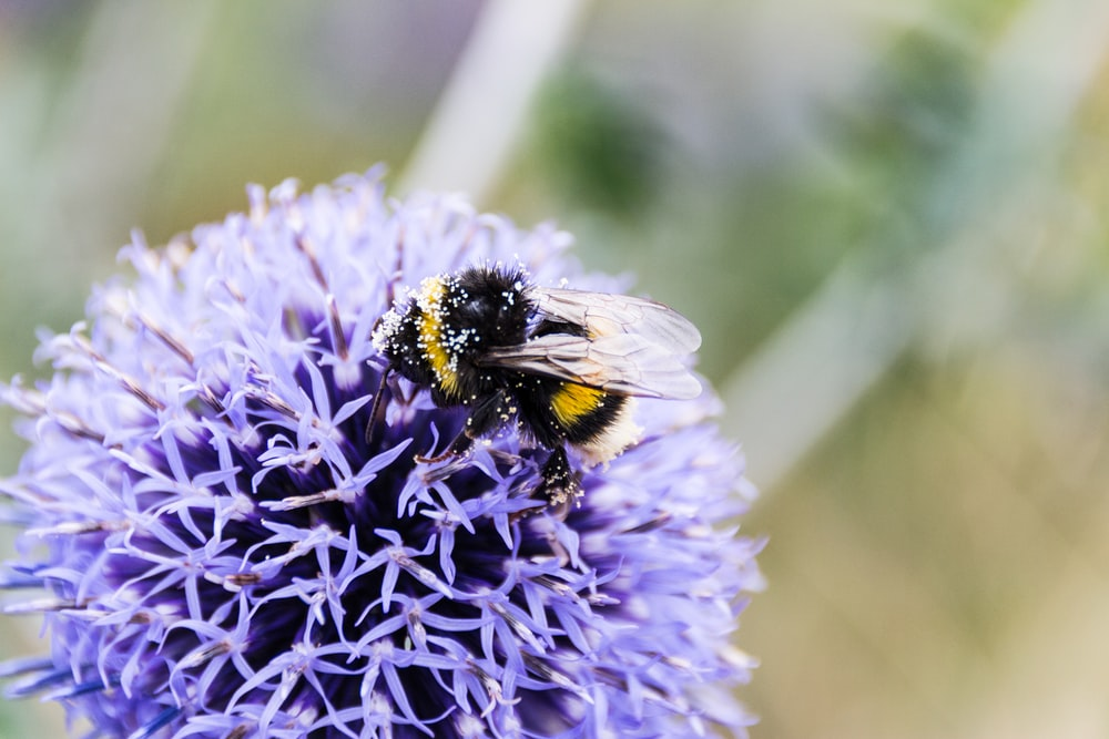 carpenter bee on blue flower in macro photography