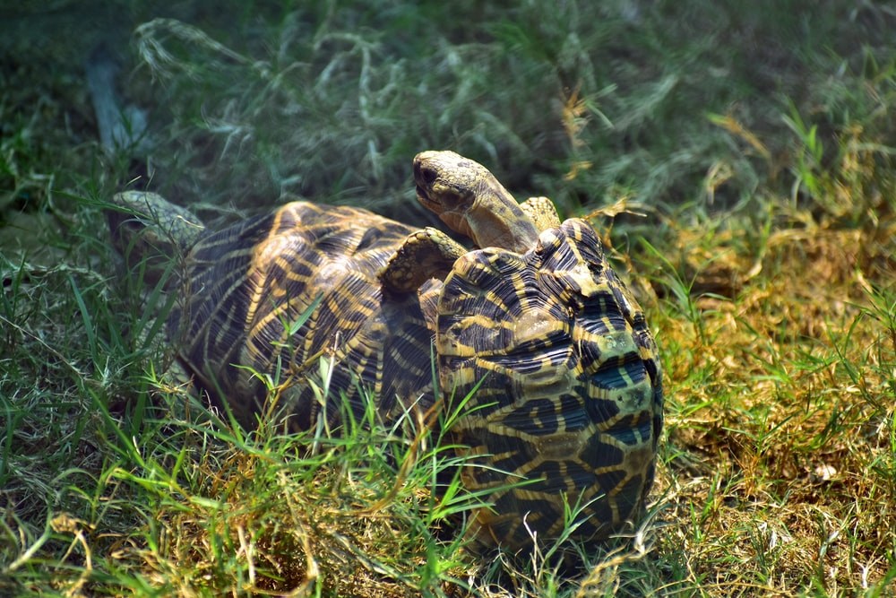 two brown turtles