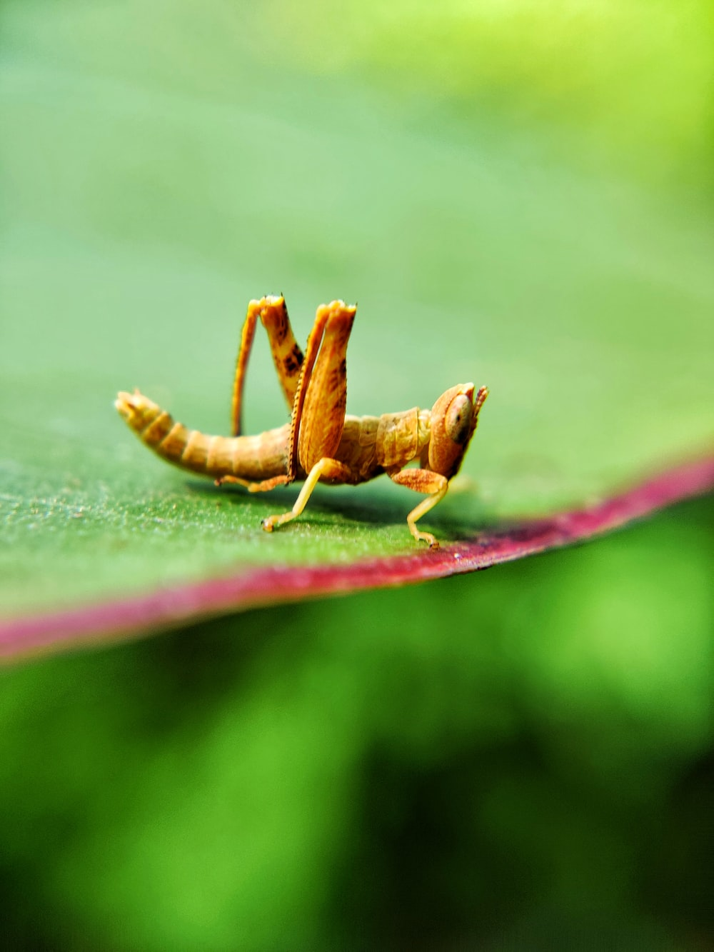 brown grasshopper on leaf