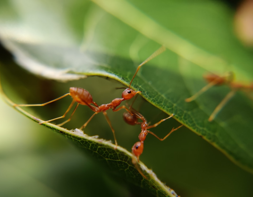macro photography of red ants