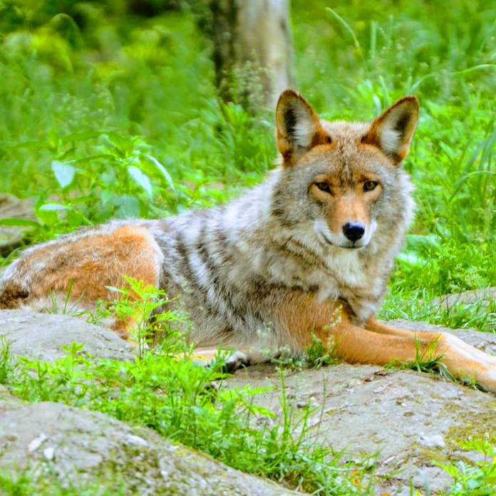 coyote on green field