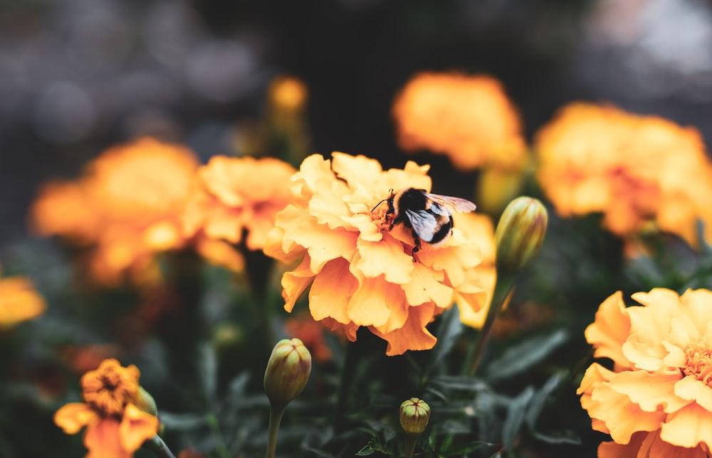bee on yellow petaled flowers