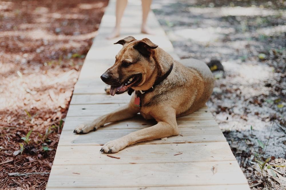 dog lying on wooden pathway