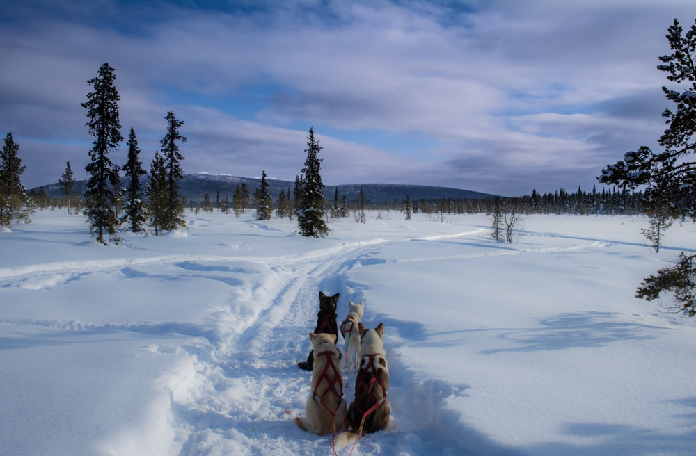 dogs on snow field