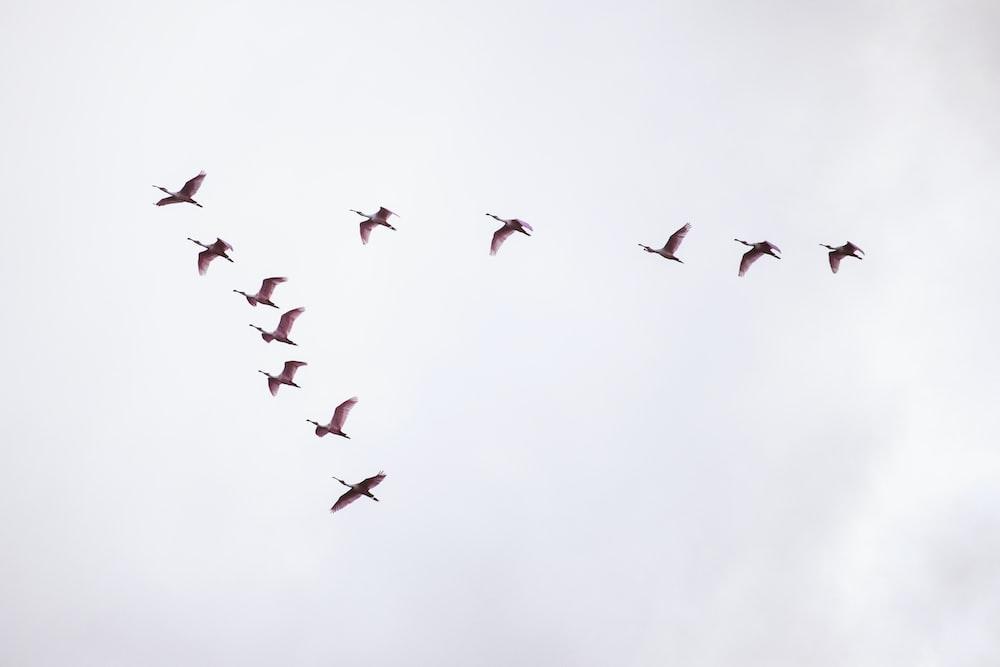 flight of red birds