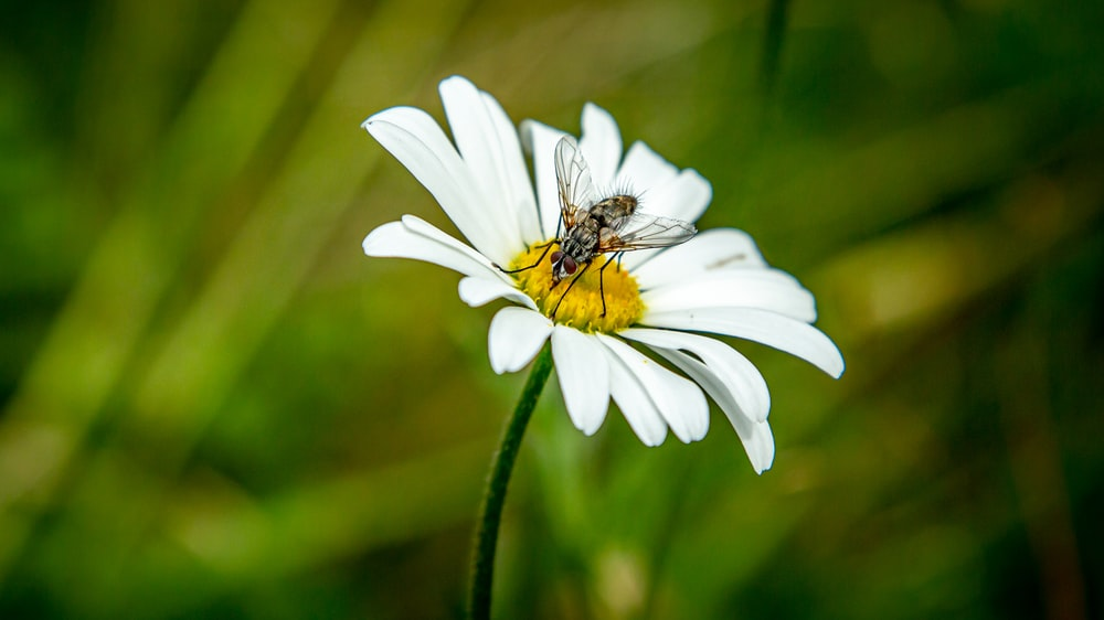 insect on white daisy