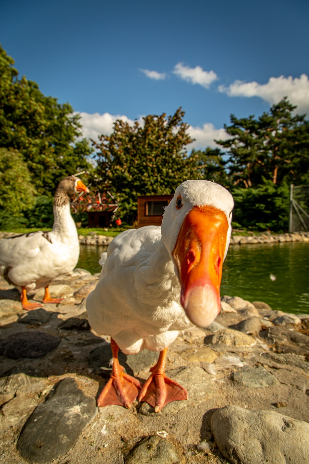 two white-and-orange ducks beside body of water