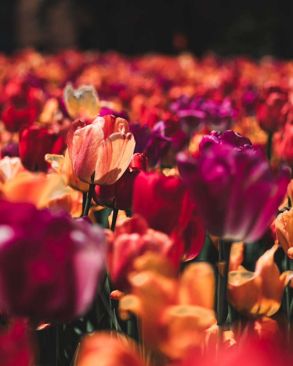 purple and orange tulip flower field