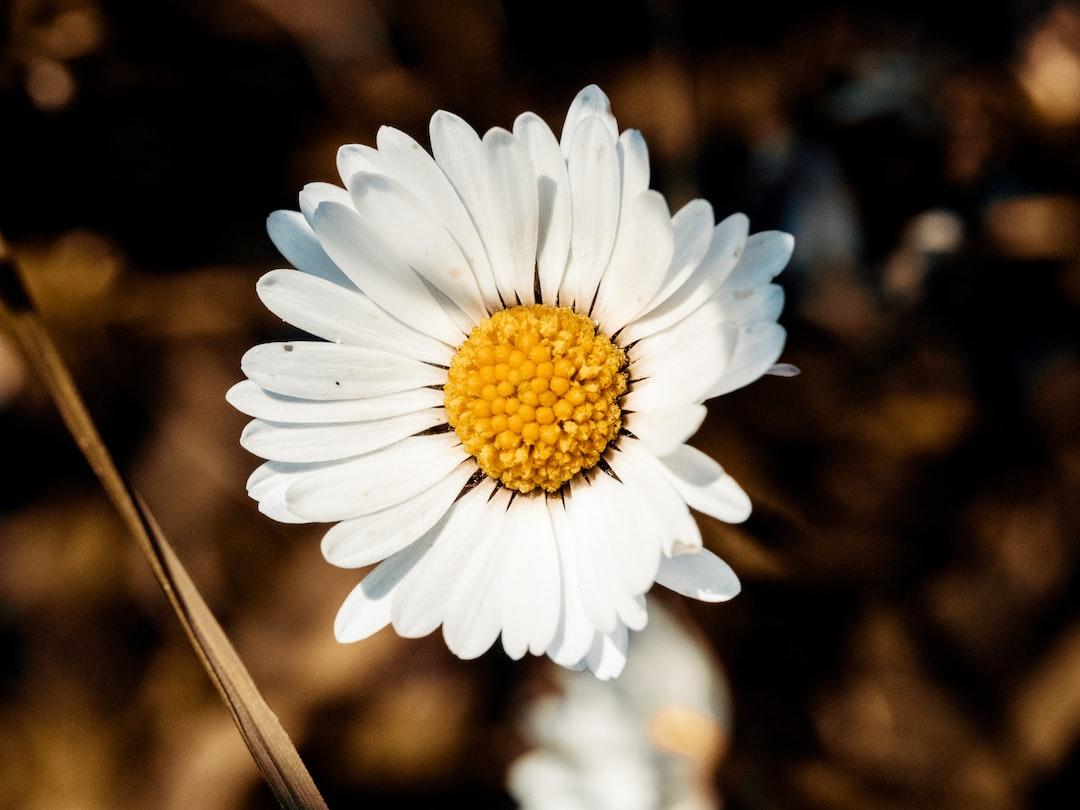 Daisy flower macro shot in the sun ( Bellis perennis )