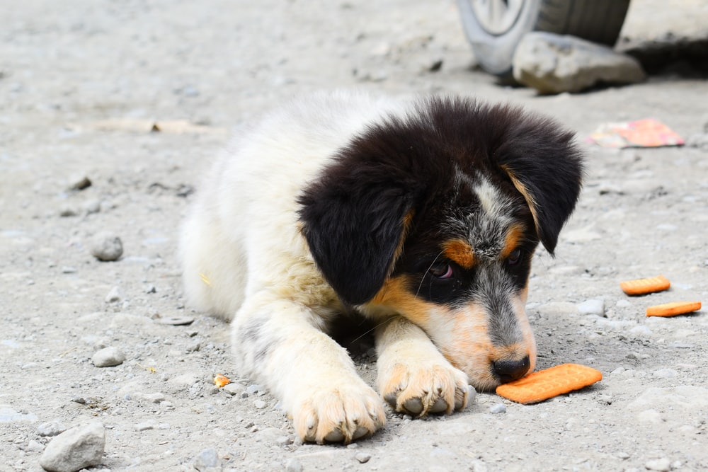 short-coated white and black puppy lying on ground