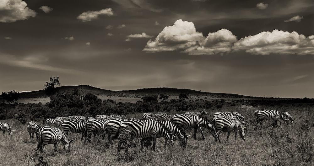 zeal of zebras photo