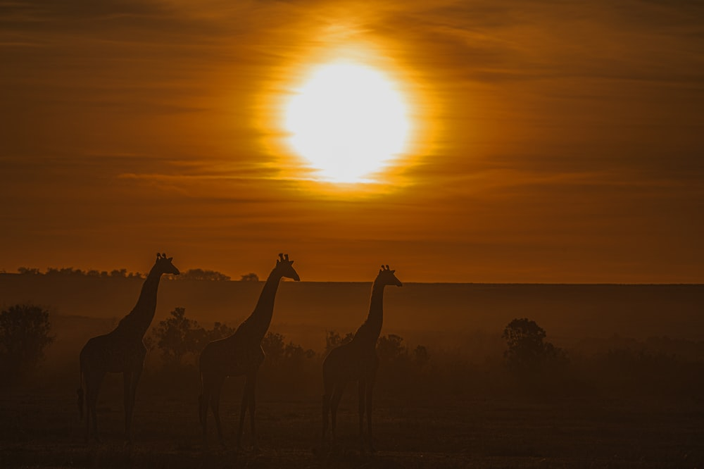 silhouette of giraffes and sunset scenery