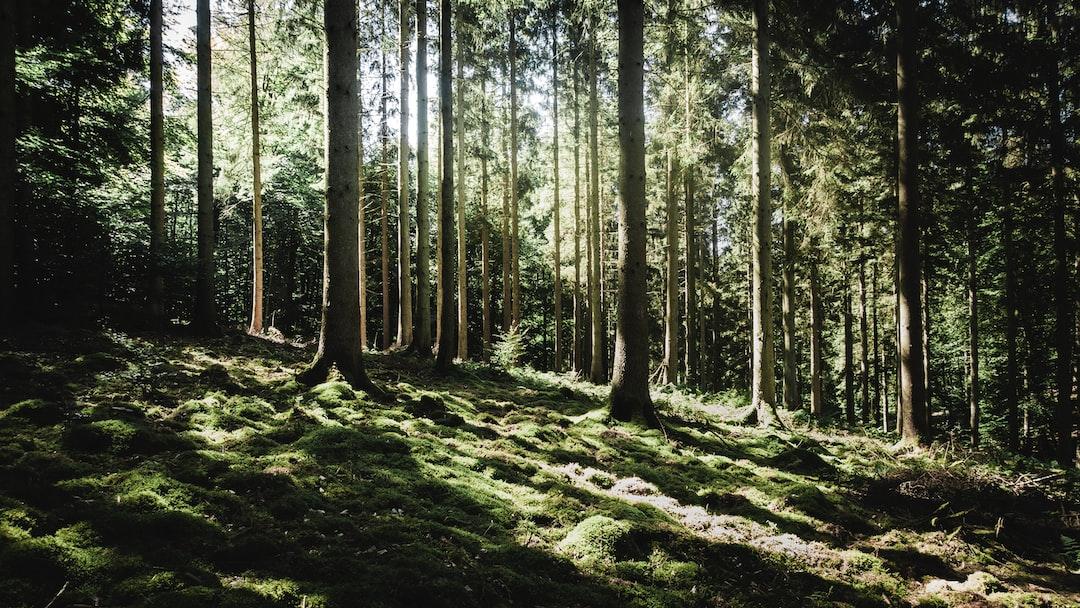 Light throw trees in belgium forest