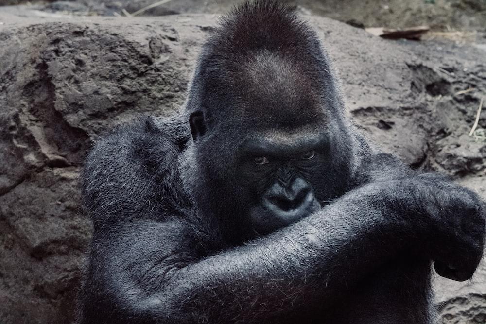 black gorilla beside stone