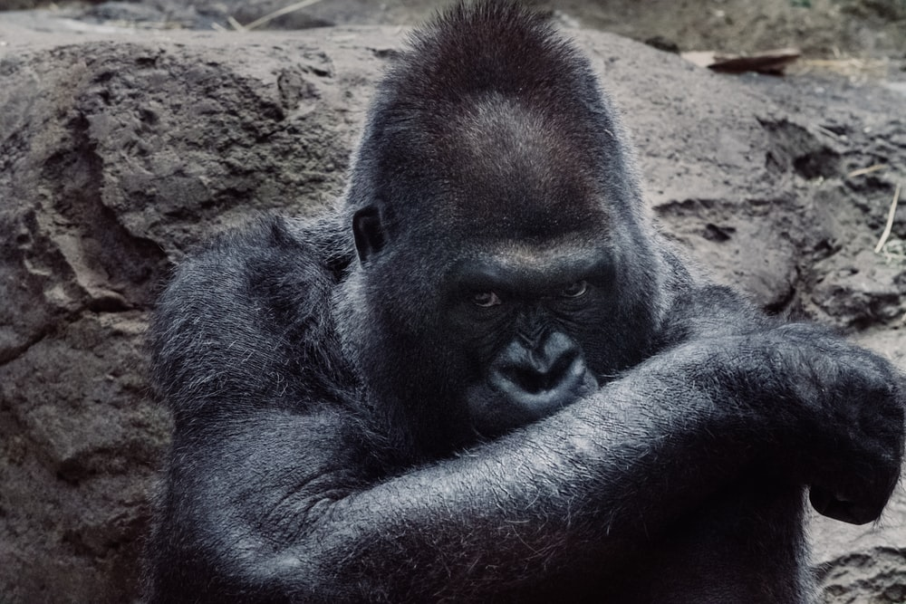 black gorilla beside stone