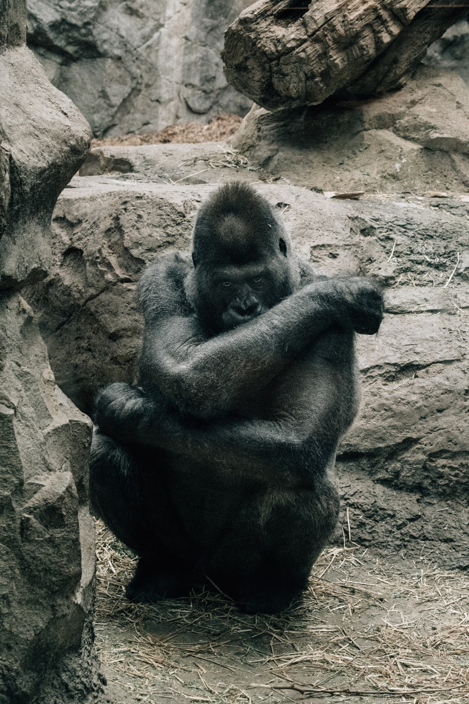 black and brown ape