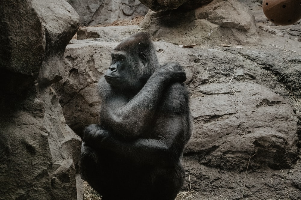 sitting black and brown ape