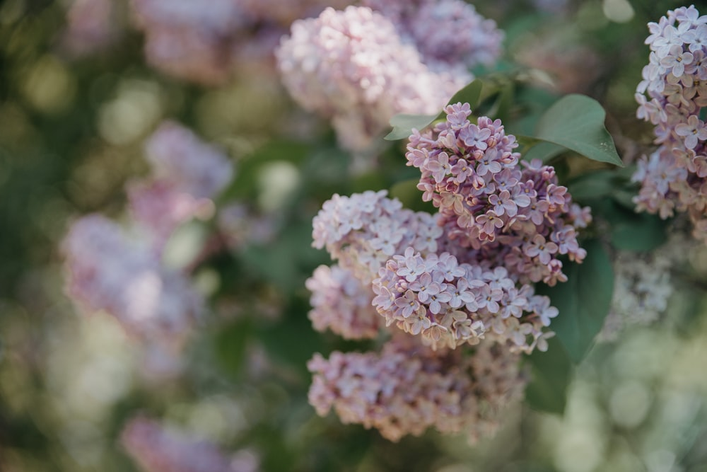 purple petaled flowers in close-up photo