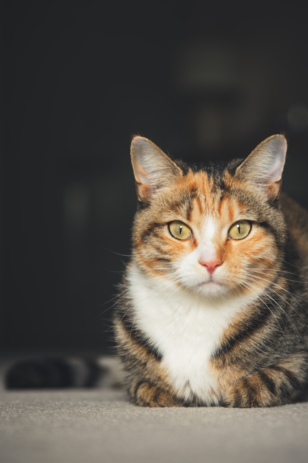 sitting white and brown tabby cat