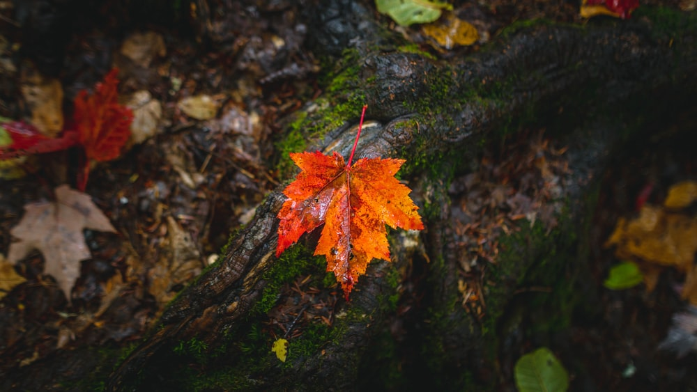 red and yellow maple leaf on brown tree trunk