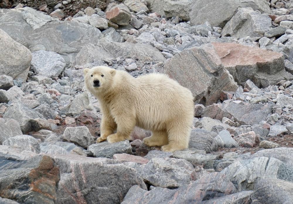 polar bear walking on rocks during daytime