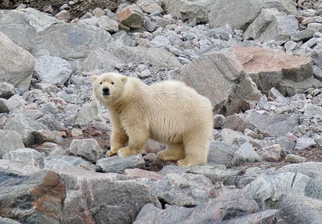 Polar Bear Cub, Canadian Arctic