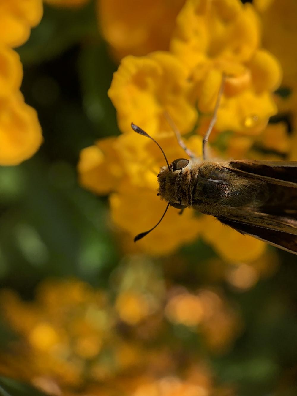 brown moth on yellow flower