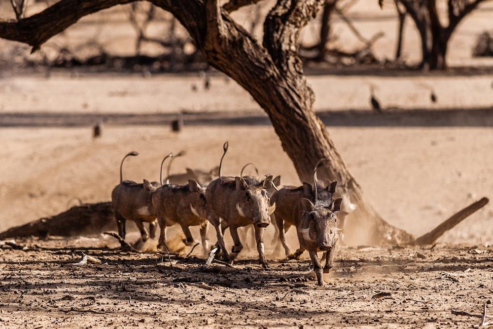 running brown boars near tree