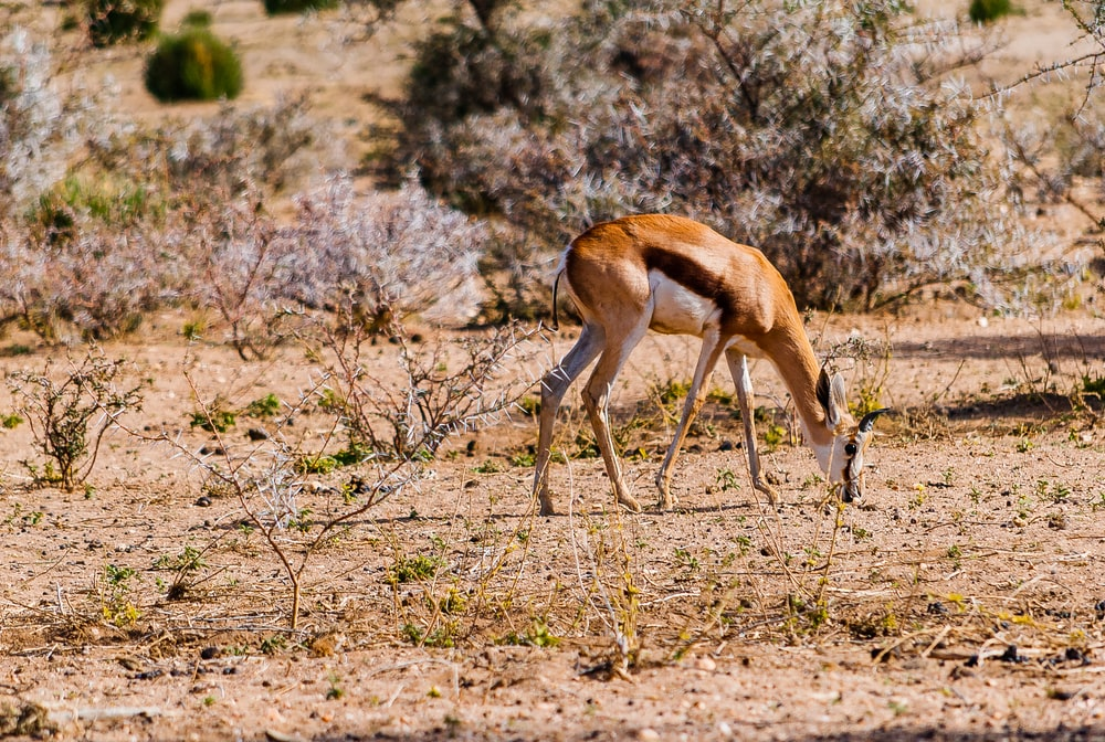 brown and white antelope eating grass
