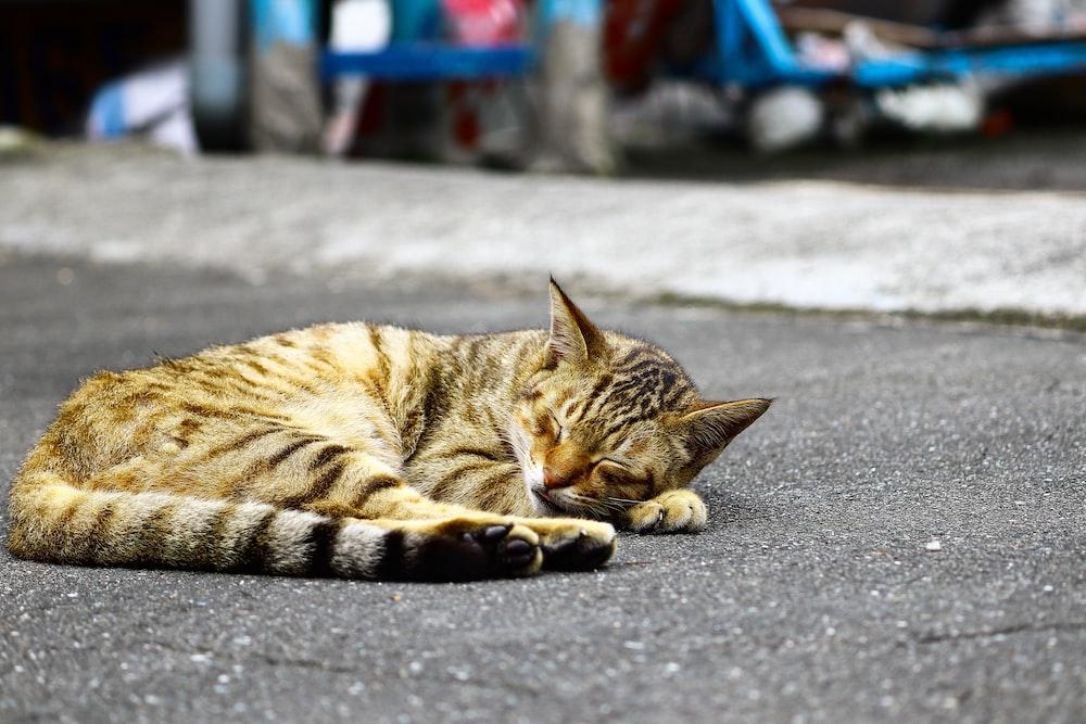 black and orange Tabby cat