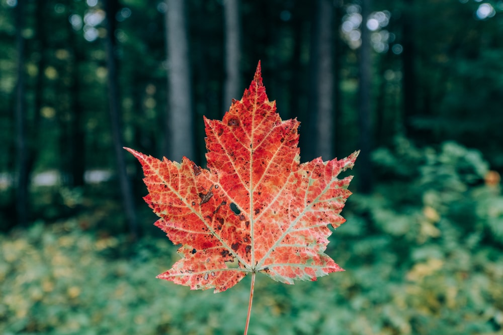 selective focus photography of green maple leaf