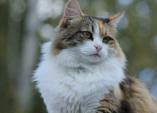 brown, white, and black maine coon cat macro photography