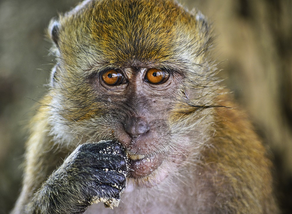 brown monkey in close-up photography