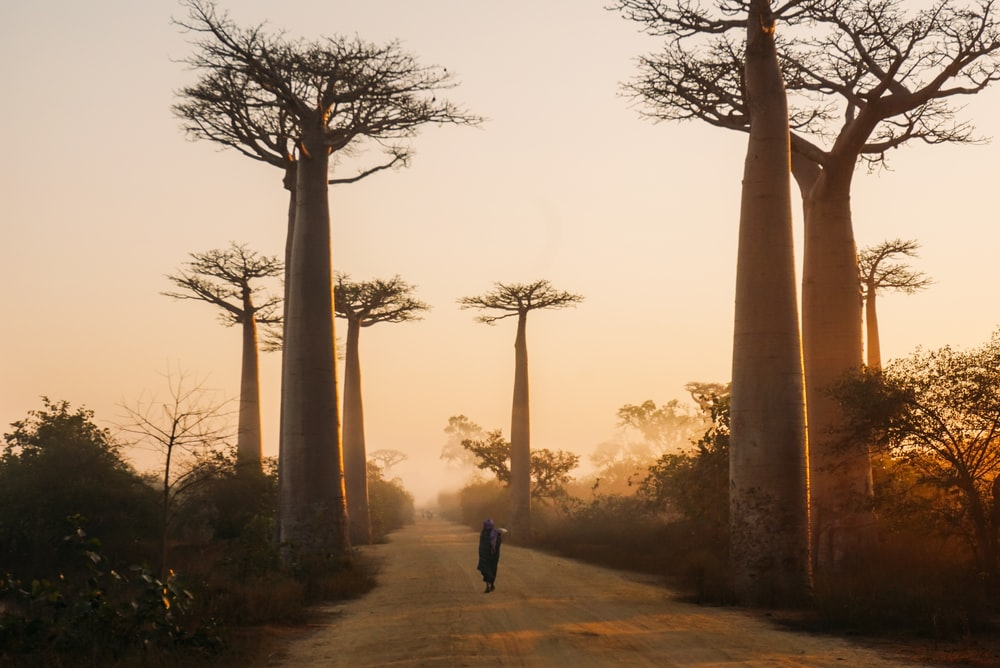 Avenue of the Baobabs, Madagascar during day