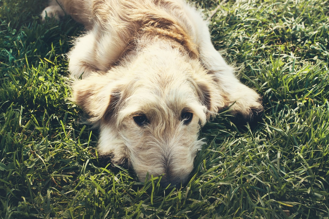 A Goldendoodle dog lies in green grass in the backyard, giving his owners a sad, puppy dog look.