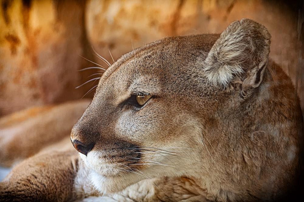 lion cub lying