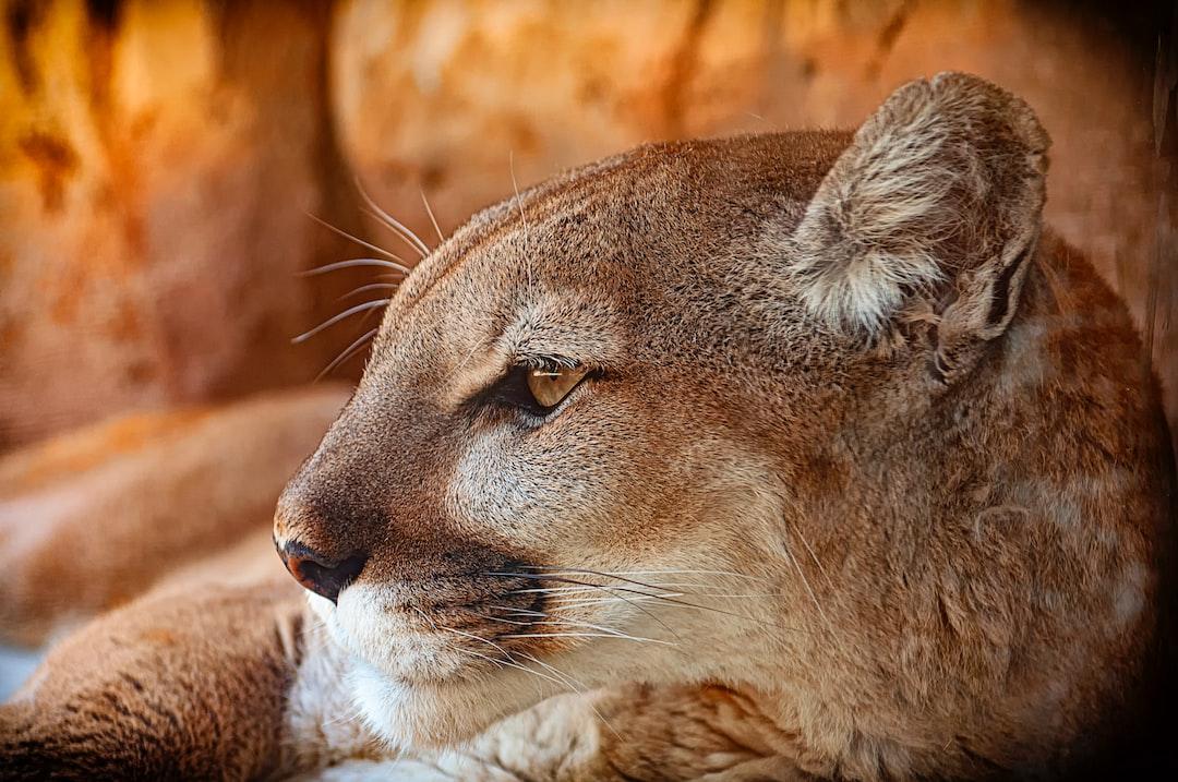 A local Mountain Lion